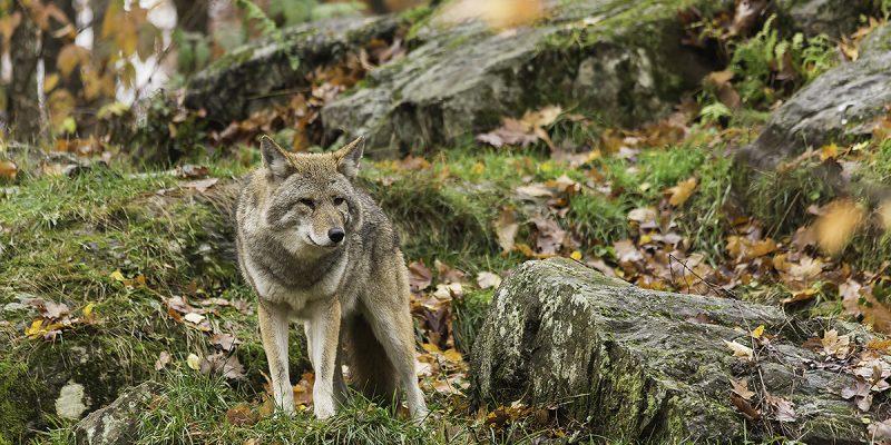 Einsamer Wolf im Wald
