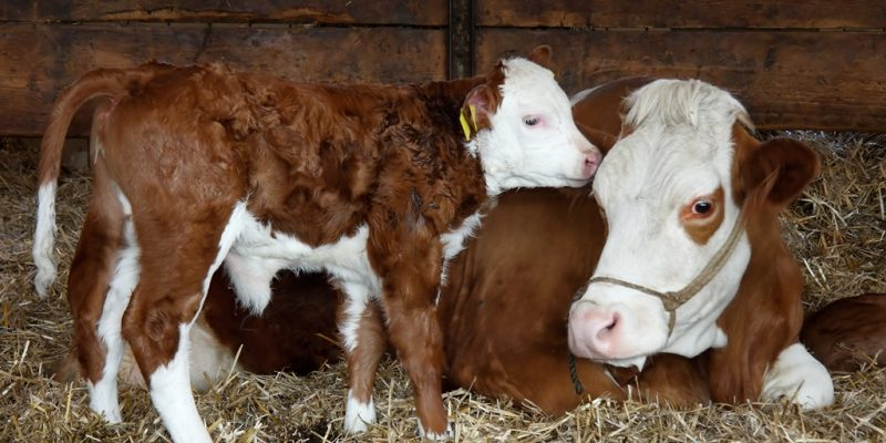 Mutterkuh mit Kalb im Stall