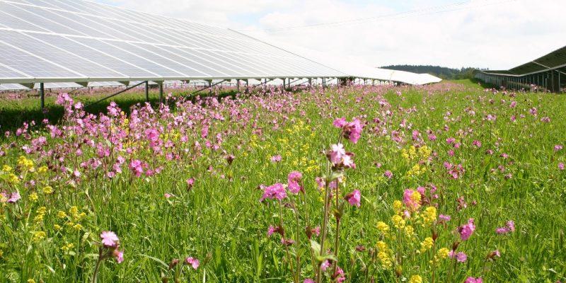 Artenreiche Blumenwiese inmitten eines Solarfelds