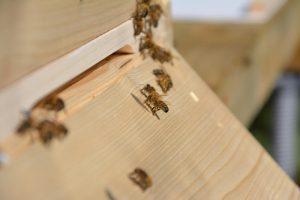 Buckfrastbienen im Eingang des Bienenstocks