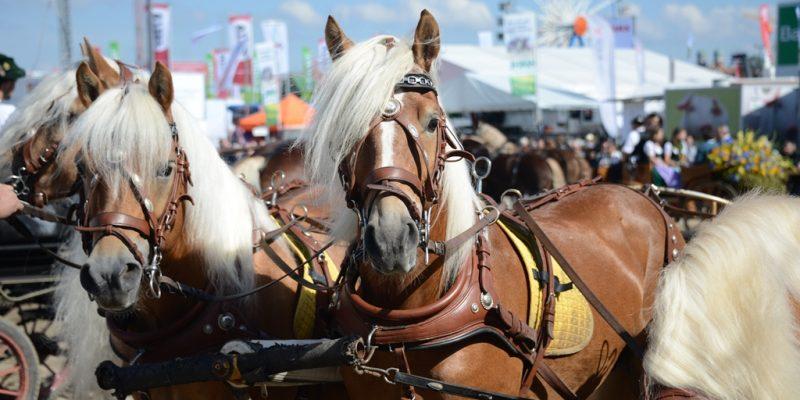 Pferdegespann auf dem Oktoberfest