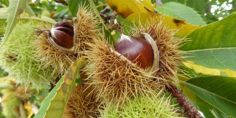 Maroni-Früchte der Esskastanie