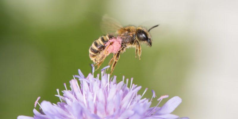 Biene beim Bestäuben einer Blume