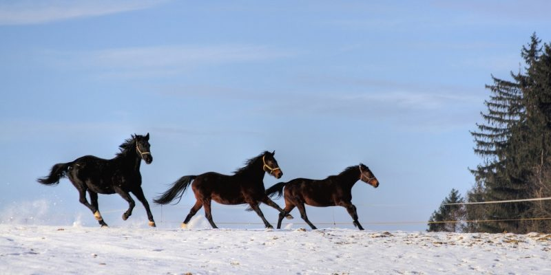 Drei Rottaler Pferde