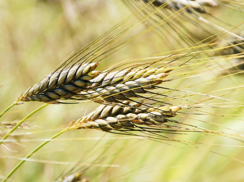 Ähren einer alten Getreidesorte
