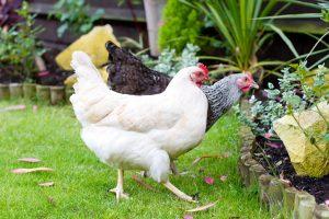 Zwei Hühner im Garten